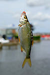 Chub Fish Caught on a Fishing Hook - Aug 2009