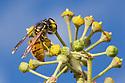 Common Wasp {Vespula vulgaris} feeding on Ivy flowers (Hedera helix). Peak District National Park, Derbyshire, UK. November.