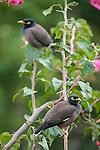 Rakiraki, Viti Levu, Fiji; a pair of Common Myna (Acridotheres tristis) birds sitting on Bougainvillea branches