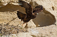Adult golden Eagle at nest in Wyoming