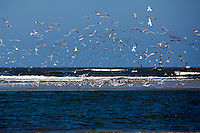 LITTLE ST. SIMONS ISLAND, FL -- October 1, 2010 -- Hundreds of seabirds fly on Little St. Simons Island on Friday, October 1, 2010.   The 10,000 acres of marshland, beaches, and forests are a refuge for wildlife and vacationers alike with only 32 guests permitted a night.  (Chip Litherland for Bay Magazine)