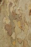 Bark patterns of Arizona sycamore (Platanus wrightii), spring, Sabino Canyon Recreation Area, Coronado National Forest, Arizona
