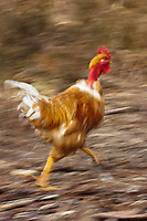 Europe/France/Aquitaine/40/Landes/Magescq: Elevage de poulets fermiers des landes élevés en liberté chez Mr et Mme Dublanc //  France, Landes, Magescq breeding range chickens high moorland freedom from Mr and Mrs Dublanc