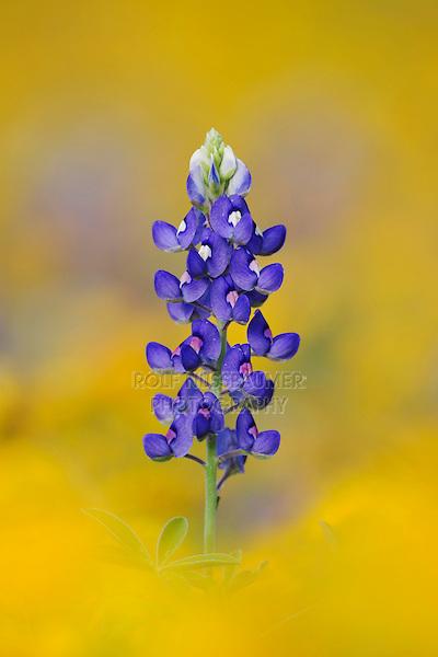 Texas Bluebonnet (Lupinus texensis), blossom in wildflower field, Fennessey Ranch, Refugio, Coastal Bend, Texas, USA