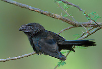 506100002 a wild adult groove-billed ani crotophaga sucirostris perches in a mesquite tree on a ranch in the rio grande valley of south texas