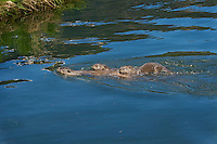Northern River Otter (Lontra canadensis) mom swimming in lake with two of her pups.  Western U.S., summer.  Pups often at this age catch a ride by holding on to or swimming next to mom..
