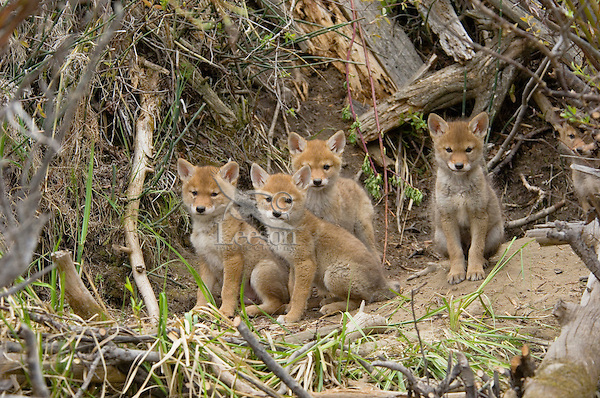 Young (wild) COYOTE pups (Canis latrans) near their den in a streamside bank.