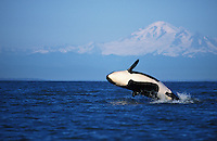 ns3. Orca (Orcinus orca) breaching, Mount Baker in background. Washington, USA, Pacific Ocean. .Photo Copyright © Brandon Cole. All rights reserved worldwide.  www.brandoncole.com..This photo is NOT free. It is NOT in the public domain. This photo is a Copyrighted Work, registered with the US Copyright Office. .Rights to reproduction of photograph granted only upon payment in full of agreed upon licensing fee. Any use of this photo prior to such payment is an infringement of copyright and punishable by fines up to  $150,000 USD...Brandon Cole.MARINE PHOTOGRAPHY.http://www.brandoncole.com.email: brandoncole@msn.com.4917 N. Boeing Rd..Spokane Valley, WA  99206  USA.tel: 509-535-3489