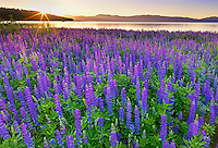 Sunrise on Tahoe Lupine