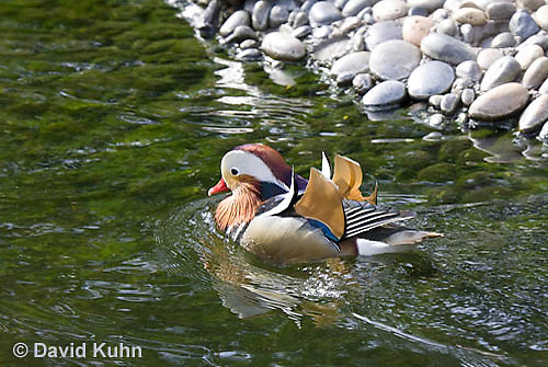 0310-1010  Drake (Male) Mandarin Duck, Aix galericulata  © David Kuhn/Dwight Kuhn Photography.
