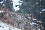 A group of bighorn sheep rams are looking in the same direction, watching a coyote that is out of the frame.  The coyote later chased the group looking for any weakness. Yellowstone National Park in Wyoming, USA, on Feb 4Th 2015. Photo by Gus Curtis.
