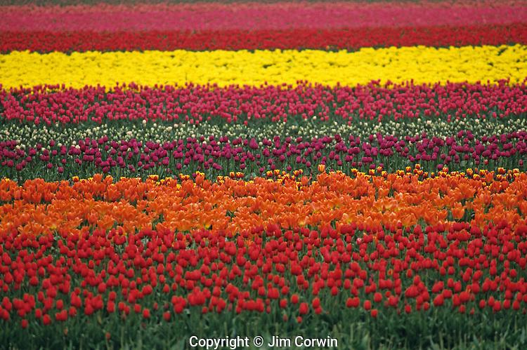 Multi-colored tulip fields Skagit County near Mount Vernon Washington State USA.