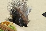 porcupine, Hystrix galeata,  African porcupine
