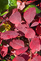 Cotinus 'Grace' fall foliage (hybrid C. coggygria x C. obovatus)