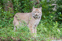 Canada Lynx pauses while walking through some underbrush - CA