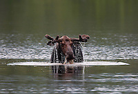 Bull Moose in Velvet, Grazing in Pond  #M67