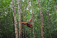 Bornean Orangutan female in rainforest trees (Pongo pygmaeus wurmbii), Pondok Tanggui, Tanjung Puting National Park, Central Kalimantan, Borneo, Indonesia.