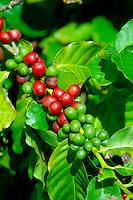 Coffee beans (coffee cherries) on tree, Ka'anapali, Maui