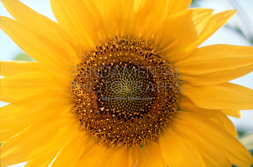 SUNFLOWER<br />