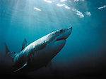 Great White Shark, South Coast, South Africa