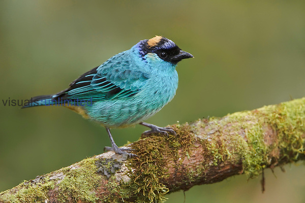 Golden-naped Tanager (Tangara ruficervix) perched on a branch at the Mindo Loma Reserve, Ecuador.