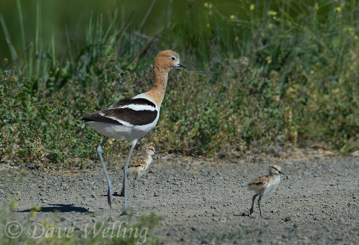506850004 a wild american avocet adult and its precocial chicks recurvirostra americana forage along a dirt road in modoc national wildlife refuge california