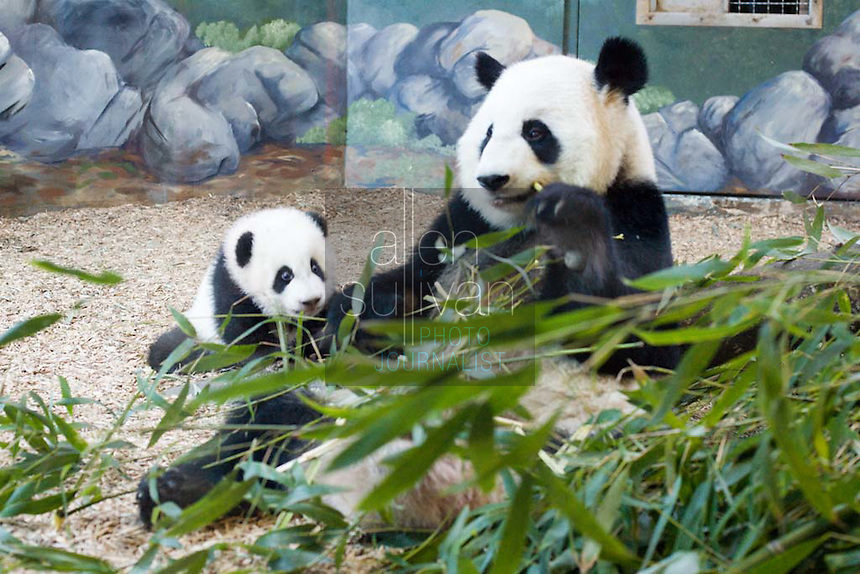 Giant panda cub Mei Lan and her mother Lun Lun at Zoo Atlanta. The zoo will announce Mei Lan?s formal debut to the public once she begins venturing out into her habitat for regular periods of time. This could occur within the next couple of weeks. Mei Lan, born on Sept. 6, 2006, is &quot;developing as she should be,&quot; said Dr. Dwight Lawson, vice-president of animal programs and science.<br />