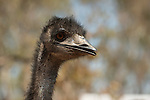 Emu (Dromaius novaehollandiae) is the largest bird native to Australia and the only extant member of the genus Dromaius. It is the second-largest extant bird in the world by height, after its ratite relative, the ostrich. There are three subspecies of emus in Australia. The emu is common over most of mainland Australia, although it avoids heavily populated areas, dense forest, and arid areas