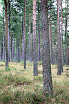 Pine Trees in Tentsmuir Forest Tayport Fife Scotland