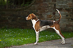 American Foxhound<br /> <br /> <br /> <br /> Shopping cart has 3 Tabs:<br /> <br /> 1) Rights-Managed downloads for Commercial Use<br /> <br /> 2) Print sizes from wallet to 20x30<br /> <br /> 3) Merchandise items like T-shirts and refrigerator magnets
