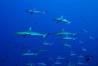A large aggregation of Gray reef sharks, Carcharhinus amblyrhynchos. Tetamanu, Fakarava, Tuamotu Archipelago, French Polynesia, Pacific Ocean