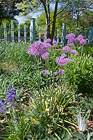Camassia quamash in blue spring flowers, Allium ornamental onion, Acorus, spring garden under trees with pretty blue fence border, sunny blue skies day, medium wide view, May, june, late spring flowering garden, Stachys lambs ears groundcover
