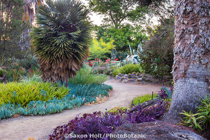 Ruth Bancroft Garden with Trithrinax campestris or caranday palm tree and Dyckia brevifolia as bromeliad succulent groundcover by dirt path
