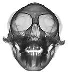 X-ray image of a vervet monkey skull and jaw (anterior view, black on white) by Jim Wehtje, specialist in x-ray art and design images.