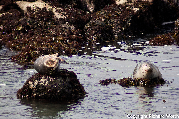 Two harbor seals warming themselves on rocks at Bean Hollow State Beach, California.