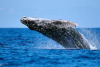 humpback whale calf breaching, Megaptera novaeangliae, Big Island, Hawaii, Pacific Ocean