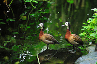 White-faced Whistling Ducks  (Dendrocygna viduata), Masoala National Park, Madagascar