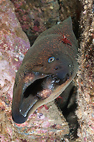 RF71173-D. California Moray Eel (Gymnothorax mordax), grows to 150cm long, usually found among rocks with head protruding, feeds mostly at night on crustaceans, small fishes, and octopus. Note cleaner shrimp on top of eel. California, USA, Pacific Ocean.<br /> Photo Copyright &copy; Brandon Cole. All rights reserved worldwide.  www.brandoncole.com