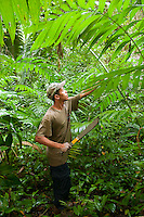 Caves Branch, Belize, May 2012. pacaya shoots have a pleasant bitter sweet flavour. We are in pristine jungle with local bushmen guides, Learning many of the secrets that the jungle holds: natural medicines, herbs, barks and many plants that are still used today by natural healers throughout Central America. The guides teach us how to build a shelter and how to gather food. Adventure is what Ian Anderson's Caves Branch is all about. Over the years, the Caves Branch jungle lodge has evolved from extremely rustic Jungle River Camp with outhouses and bathing in the river to 5 Star Luxury Tree Houses with roof top decks and hot tubs to relax under the stars above. Photo by Frits Meyst/Adventure4ever.com