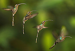 Reserva Bosque Nuboso, Santa Elena Reserve, Monteverde, Costa Rica; a four shot composite of a Green Hermit (Phaethornis guy) hummingbird hovers in mid-air, a large hummingbird that is a resident breeder from southern Central America (Costa Rica and Panama) south to northwestern South America (northeastern Venezuela and Trinidad and the northern Andes to eastern Peru), it is 5.3 in (13.5 cm) long and weighs 0.22 oz (6.3 g) , Copyright © Matthew Meier, matthewmeierphoto.com All Rights Reserved