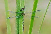 Great Pondhawk , Erythemis vesiculosa, adult resting on cattail covered in Dew, Willacy County, Rio Grande Valley, Texas, USA