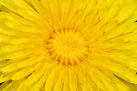 Dandelion flower (Taraxacum officinale)