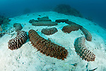 Sea cucumbers on sandy sea floor. {Thelonota ananas}