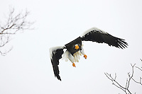 A lone Steller's Sea Eagle in flight, wings extended, Hokkaido, Japan