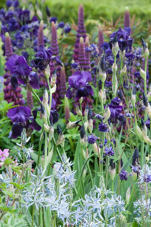 Iris 'Sable', Aquilega vulgaris 'Blue Barlow', purple Lupins, and pale blue Camassias. Morgan Stanley Healthy Cities Garden designed by Chris Beardshaw, RHS Chelsea Flower Show 2015.