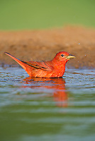 580980040 a wild male summer tanager pitanga rubra bathes in a small pond on the laguna seca ranch in the rio grande valley of south texas