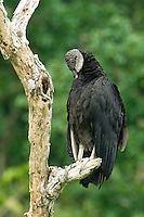 591000027 Black Vulture Coragyps artatus WILD_DLW0067.Perched on Dead Snag Preening.Tamaulipas State, Mexico