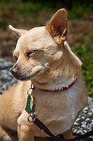 "Frankie's story is one of abuse, multiple abandonments and rescues.  He is now in a stable and loving home, and he is thriving.  His current 'mom' describes him, with a grin, as, ""Part Chihuahua, part Heinz 57""."