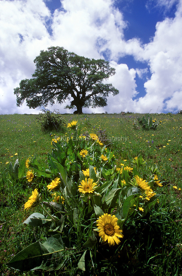 California Live Oak with wild flower