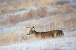 A young whitetail buck waling over snow covered ground in Montana
